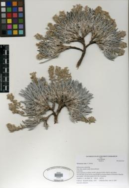 Image of Oreocarya cana