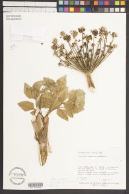 Angelica roseana image