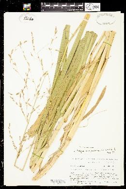Image of Glyceria spectabilis