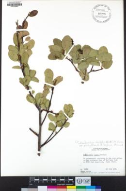 Amelanchier alnifolia var. pumila image
