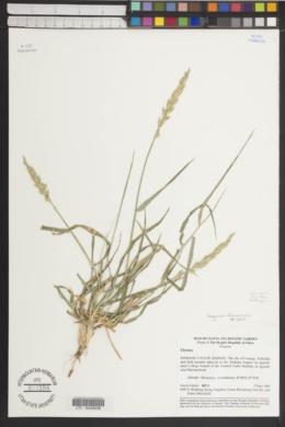 Leymus chinensis image