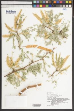 Prosopis velutina image