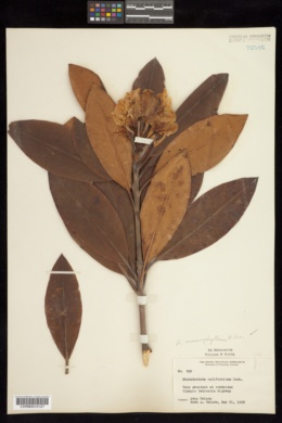 Image of Rhododendron californicum