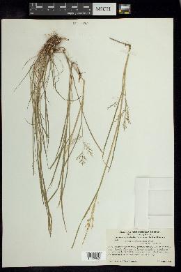 Luziola gracillima image