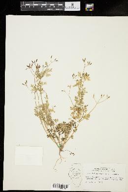 Chaerophyllum procumbens image
