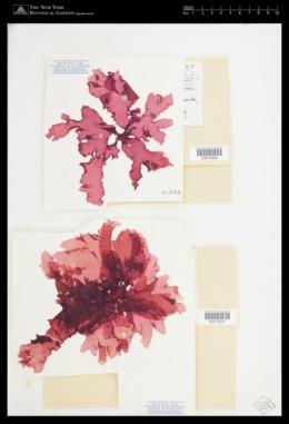 Halymenia floridana image