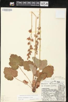 Heuchera richardsonii image