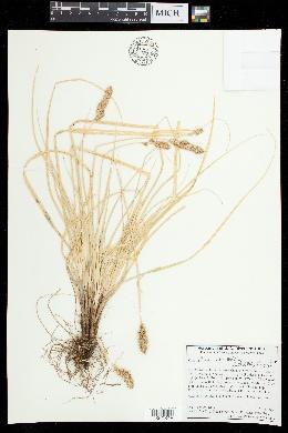 Carex alma image