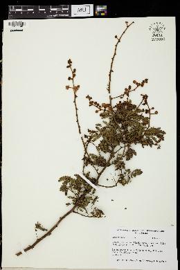 Image of Mimosa bahamensis