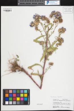 Dieteria bigelovii var. bigelovii image