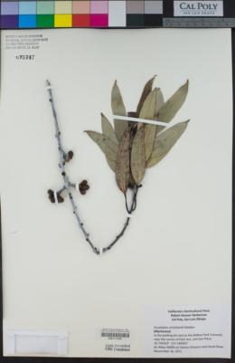 Image of Eucalyptus stricklandii