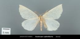 Neoterpes ephelidaria image