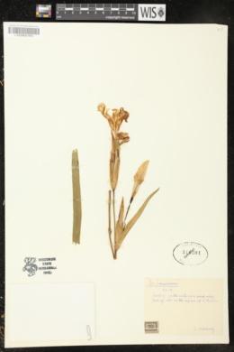 Iris pseudacorus image
