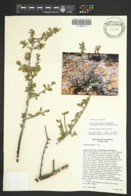 Ceanothus greggii var. greggii image