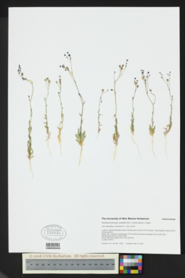 Gilia flavocincta subsp. australis image