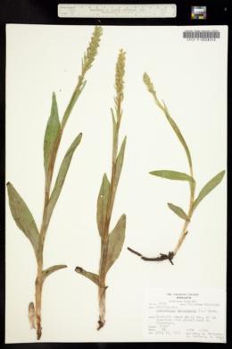 Platanthera hyperborea image