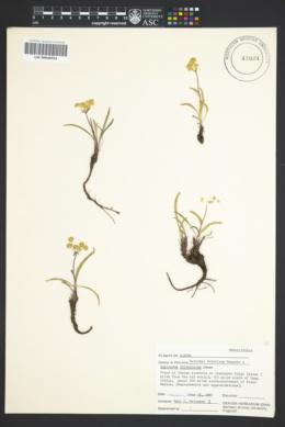 Bupleurum triradiatum image