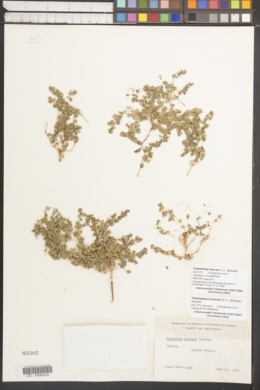 Image of Euphorbia hooveri