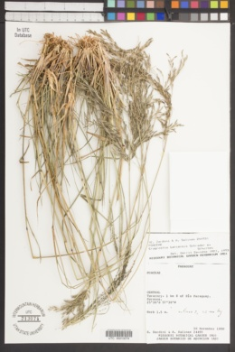 Eragrostis bahiensis image