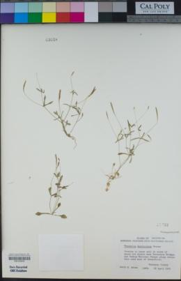 Meconella denticulata image