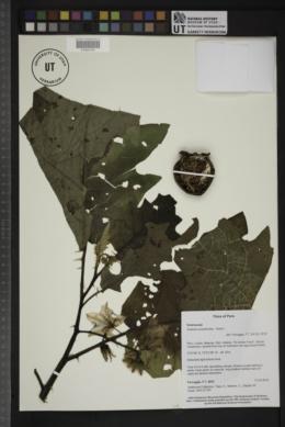 Solanum acanthodes image