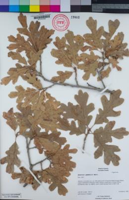 Quercus gambelii image