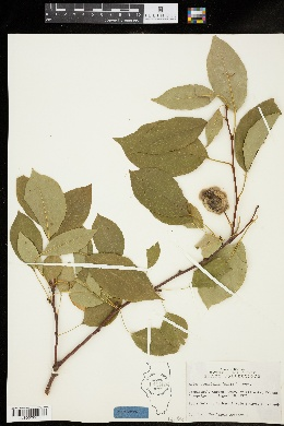 Image of Malus prunifolia