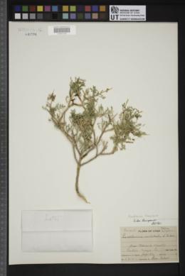 Psorothamnus thompsoniae image