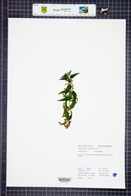 Urtica gracilis subsp. holosericea image