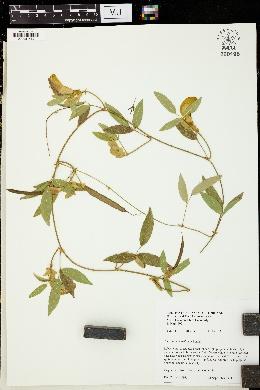 Image of Centrosema vexillatum