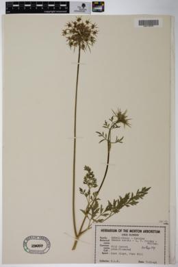 Daucus carota f. roseus image