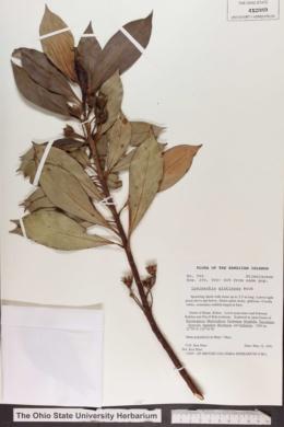 Image of Lysimachia glutinosa