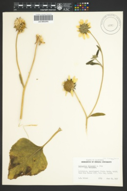 Image of Helianthus bolanderi