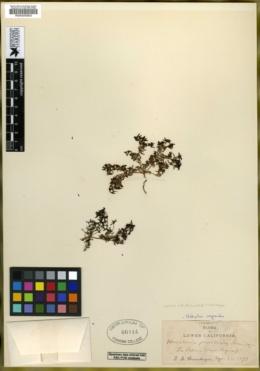Houstonia prostrata image