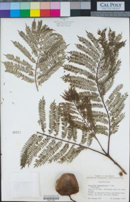 Jacaranda mimosifolia image