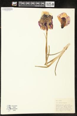 Iris iberica image