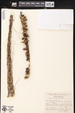 Image of Agave filifera