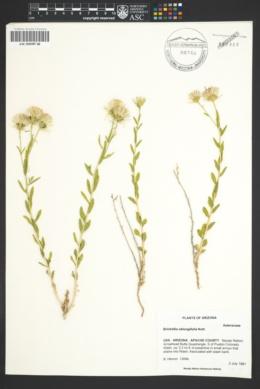 Brickellia linifolia var. linifolia image