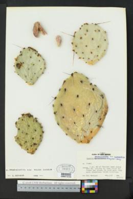 Opuntia phaeacantha var. major image