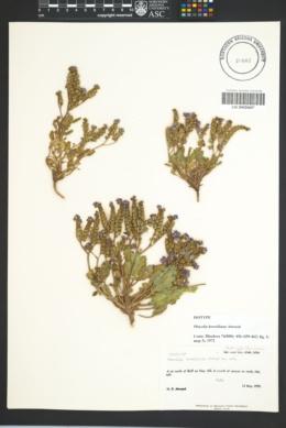 Image of Phacelia howelliana