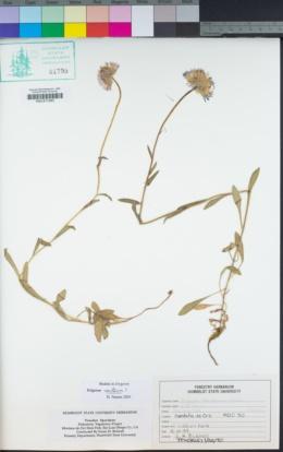 Image of Erigeron sanctarum