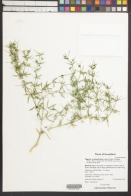 Image of Fagonia schweinfurthii