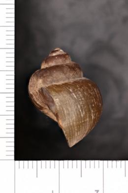 Viviparus goodrichi image