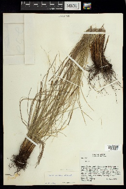 Image of Carex arsenei