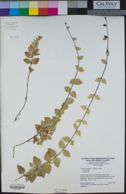 Clinopodium douglasii image