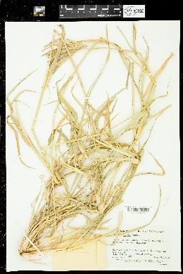 Chloris gayana image
