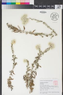 Image of Pseudognaphalium luteoalbum