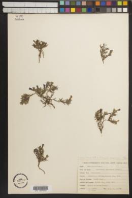 Image of Penstemon abietinus