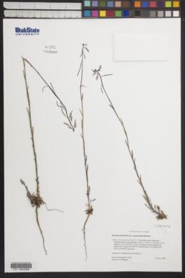 Arabis holboellii var. retrofracta image