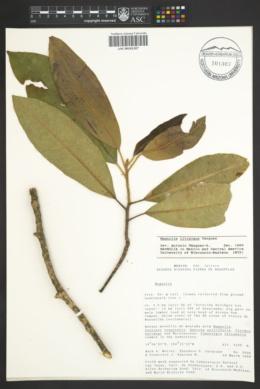 Image of Magnolia iltisiana